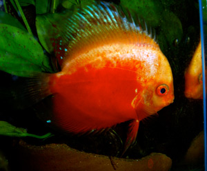 Tropical Discus Fish 2