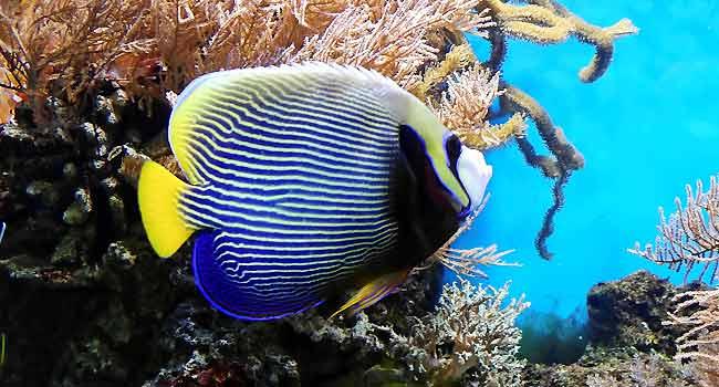 Tropical Fish Imperator