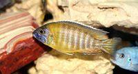 Pet Tropical Aquarium Fish